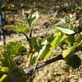 Silence ça pousse....☀️🌎🌱#nature #vigne #vigneron #cumieres #champagne #instanature