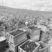 🍇🍇🍇🍾#harvest21  #champagne #cumieres #grapes #pinotnoir #vineyard #hve #vdc