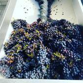 Préparation du vin rouge 🍇 pour notre coteau Champenois mais aussi pour notre rosé d'assemblage🍾#redwine #grapes #champagnerosé #pinkchampagne #cumieres #harvest21 #pinotmeunier