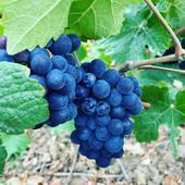 Harvest 2020.... ✨soon✨ #grape #champagne #harvest
